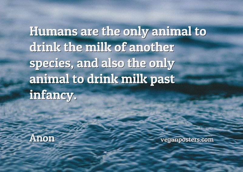 Humans are the only animal to drink the milk of another species, and also the only animal to drink milk past infancy.