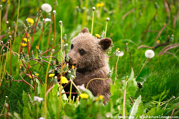 brown bear cub eating